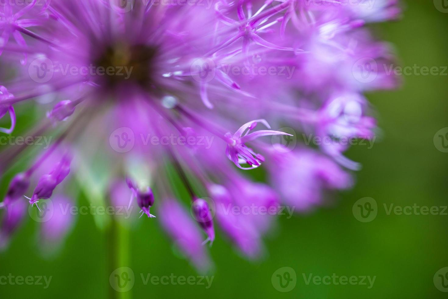 bloeiende sierui (allium) foto
