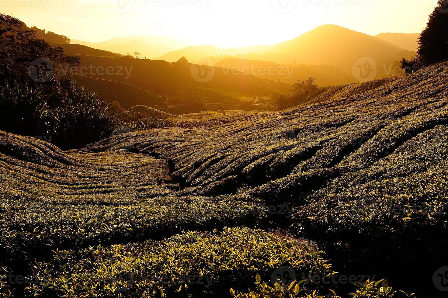 theeplantage velden bij zonsopgang foto