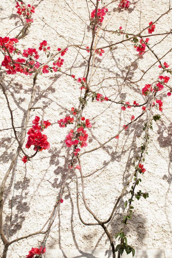 bogumilia bloem foto