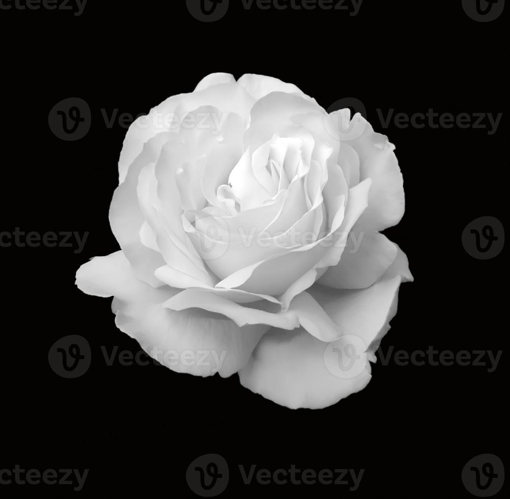 een witte roos geïsoleerd op zwart foto