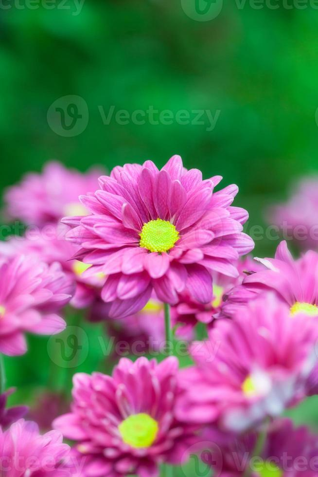 chrysanthemum bloemen foto