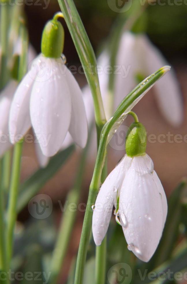 prachtige sneeuwklokjes. foto