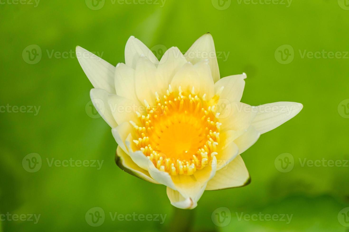 lotusbloem. foto