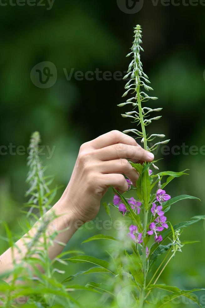 handplukbloemen van wilgenkruid (ivan-thee) foto