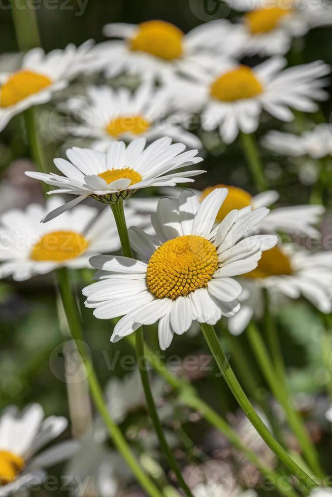 daisy close-up foto