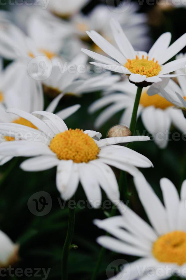 chrysanthemum close-up foto