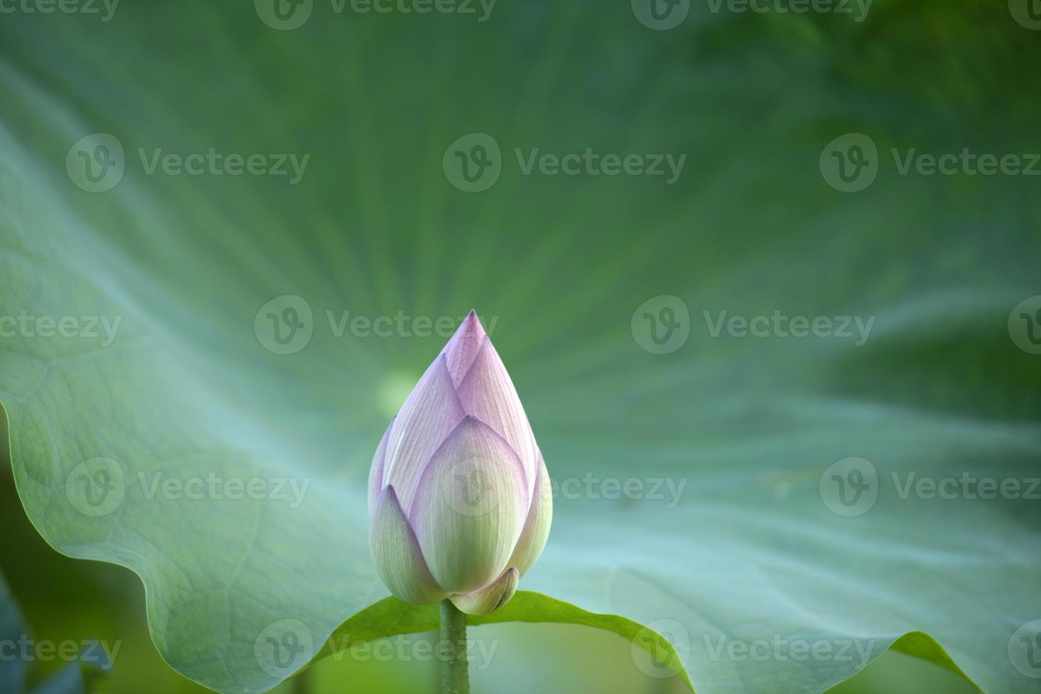lotus bud close-up foto