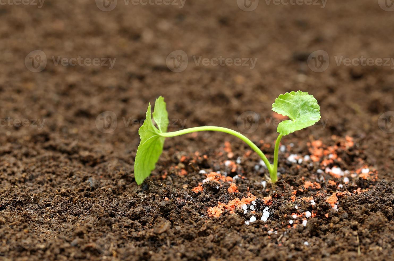 medicinale thankuni plant op de grond foto