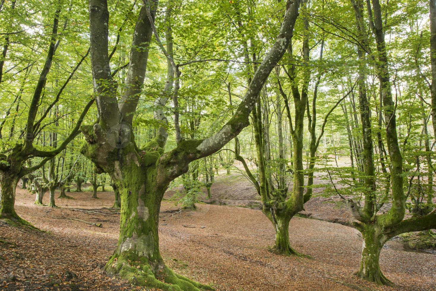 oude boom in het bos in bizkaia, Baskenland, spanje. foto