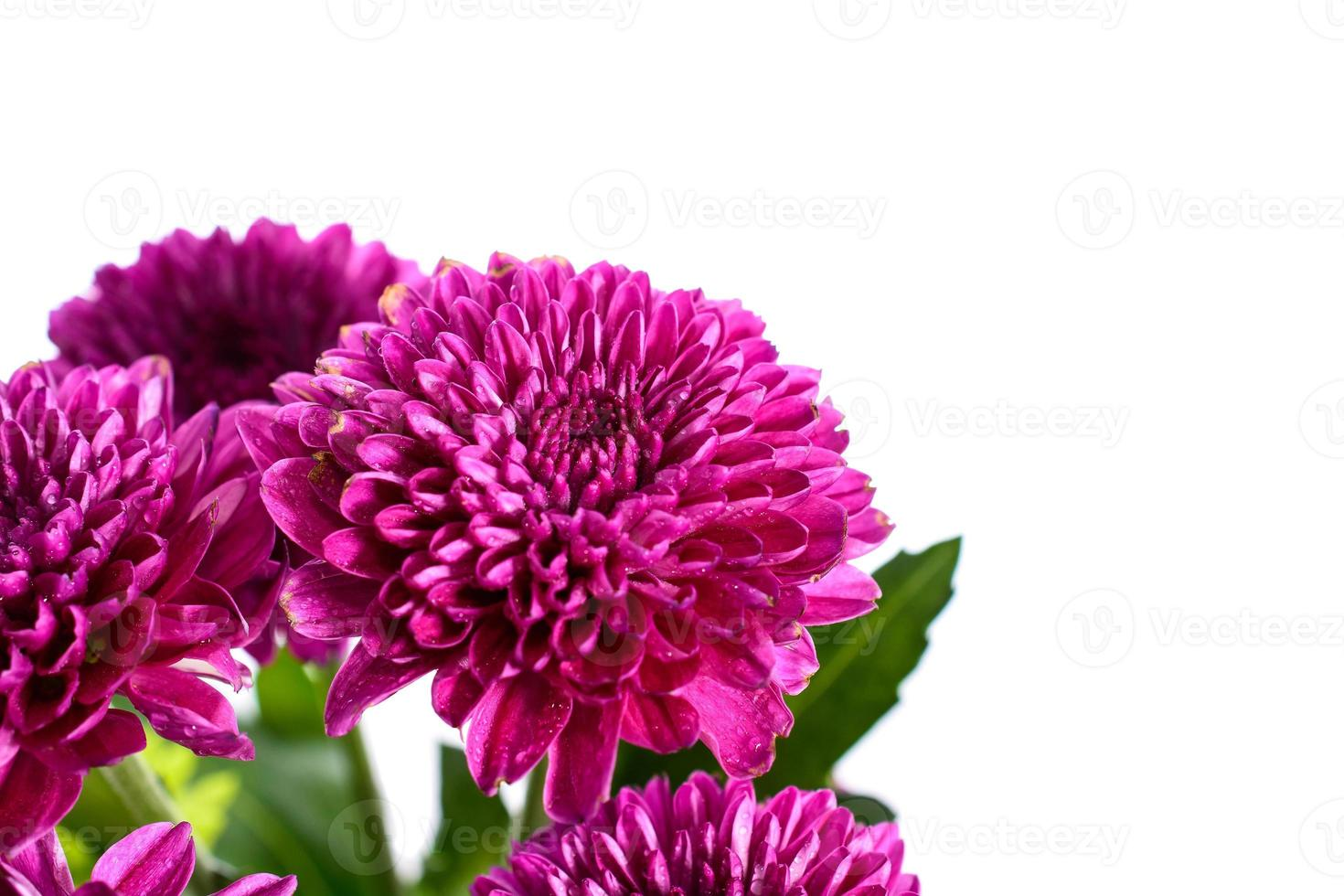 close up paarse chrysant foto