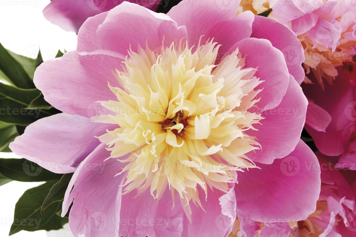 pioenroos (paeonia), close-up foto