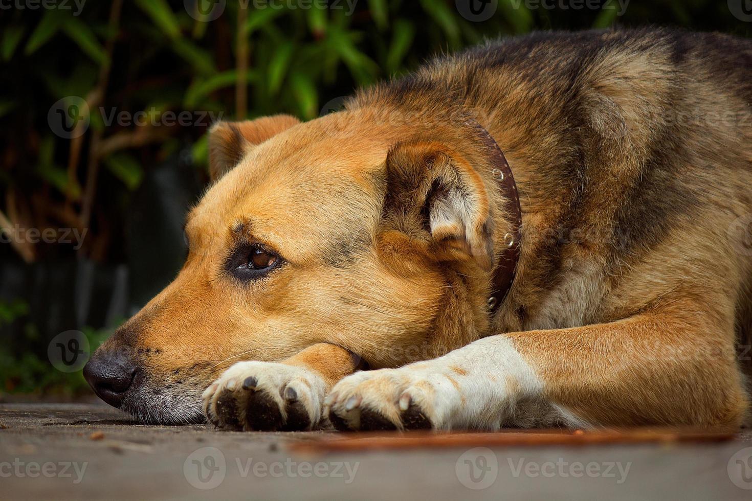 portret van een grote waakhond foto