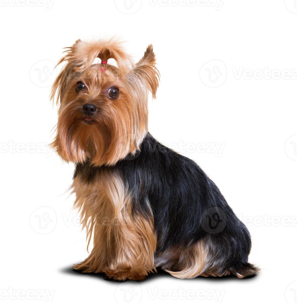 Yorkshire terrier hond foto