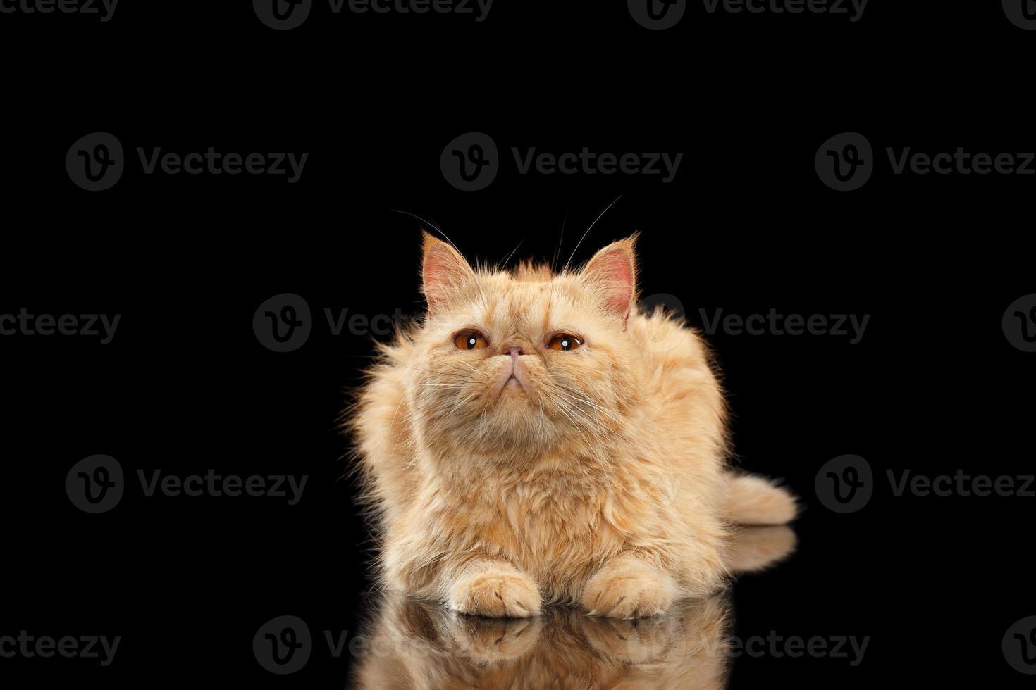 exotische gemberkat die op zwarte spiegel ligt foto