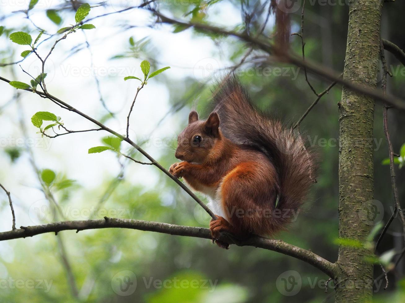 eekhoorn in het bos foto