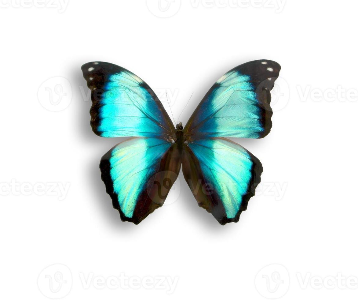 vlinder morpho foto