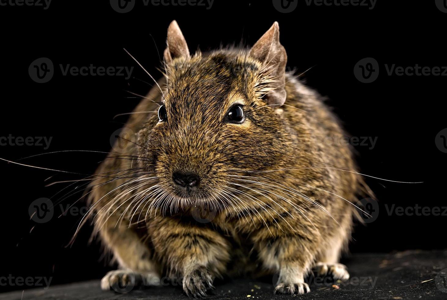 dikke degu hamster foto