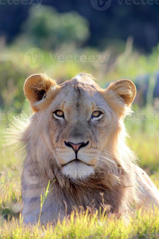 sub volwassen mannelijke leeuw foto