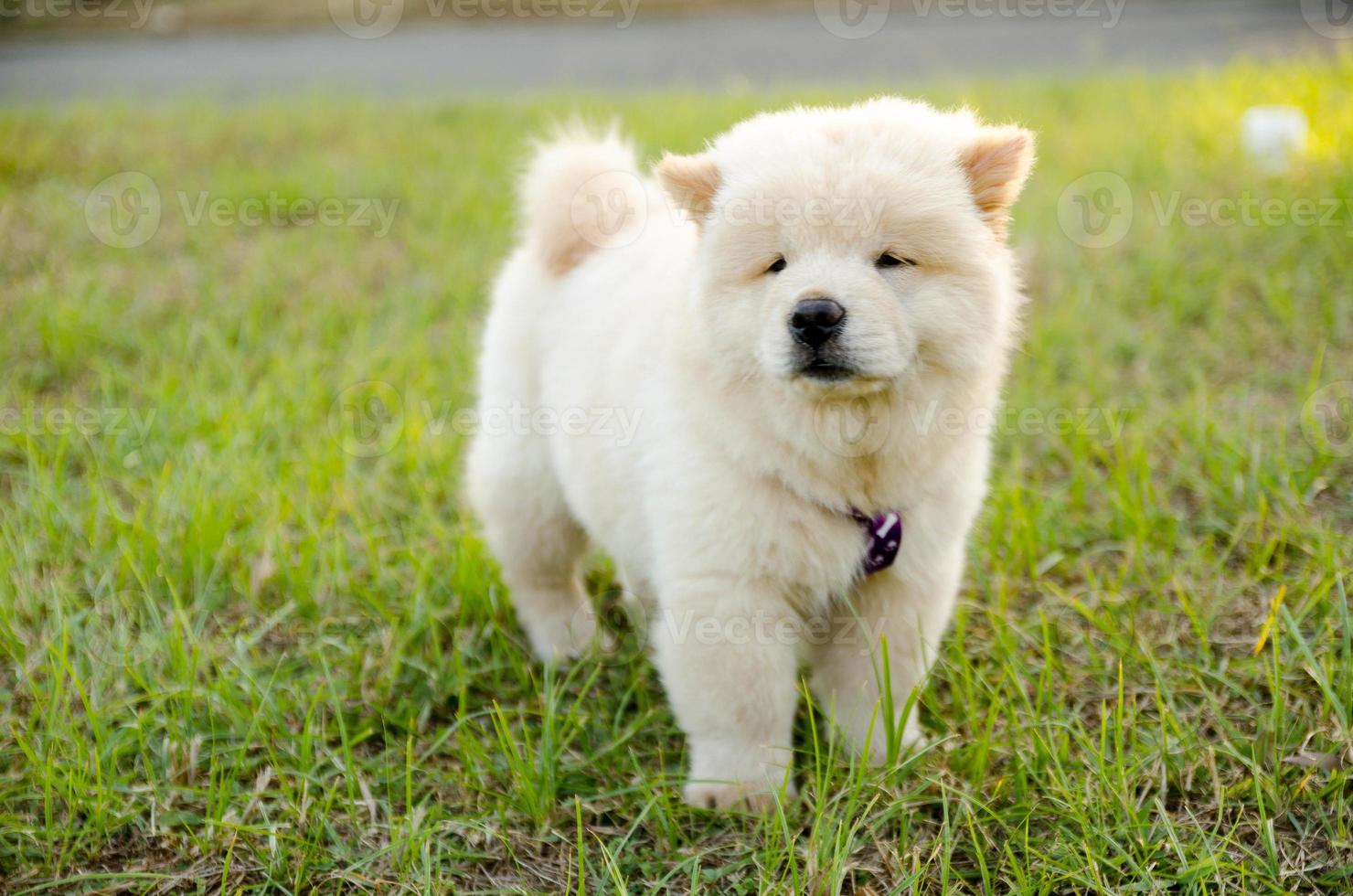witte chow-chow foto