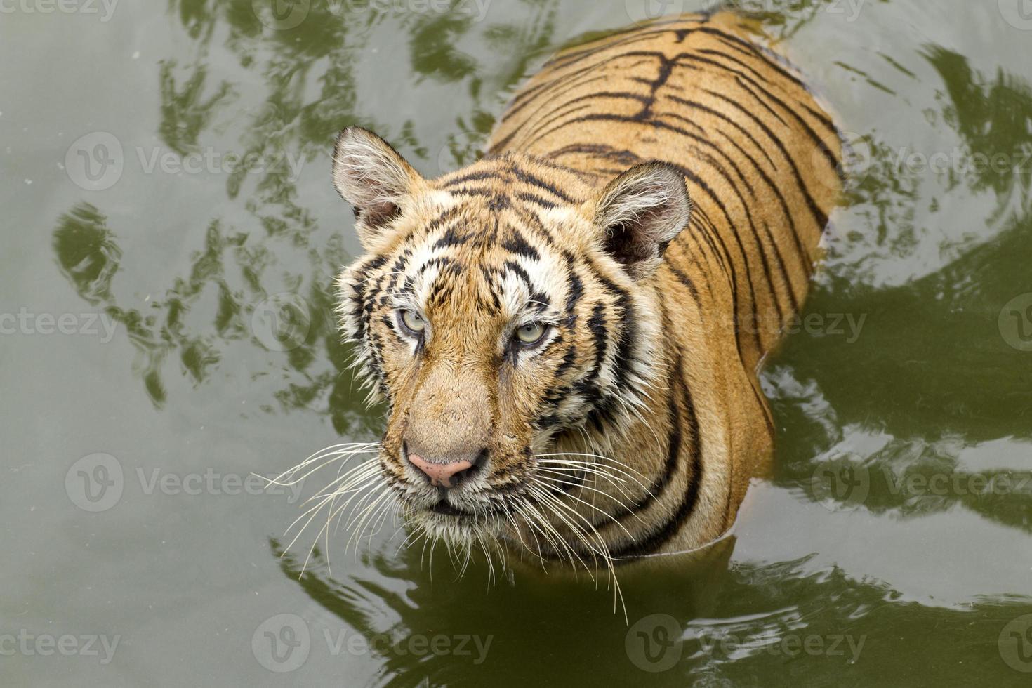 tijger in water foto