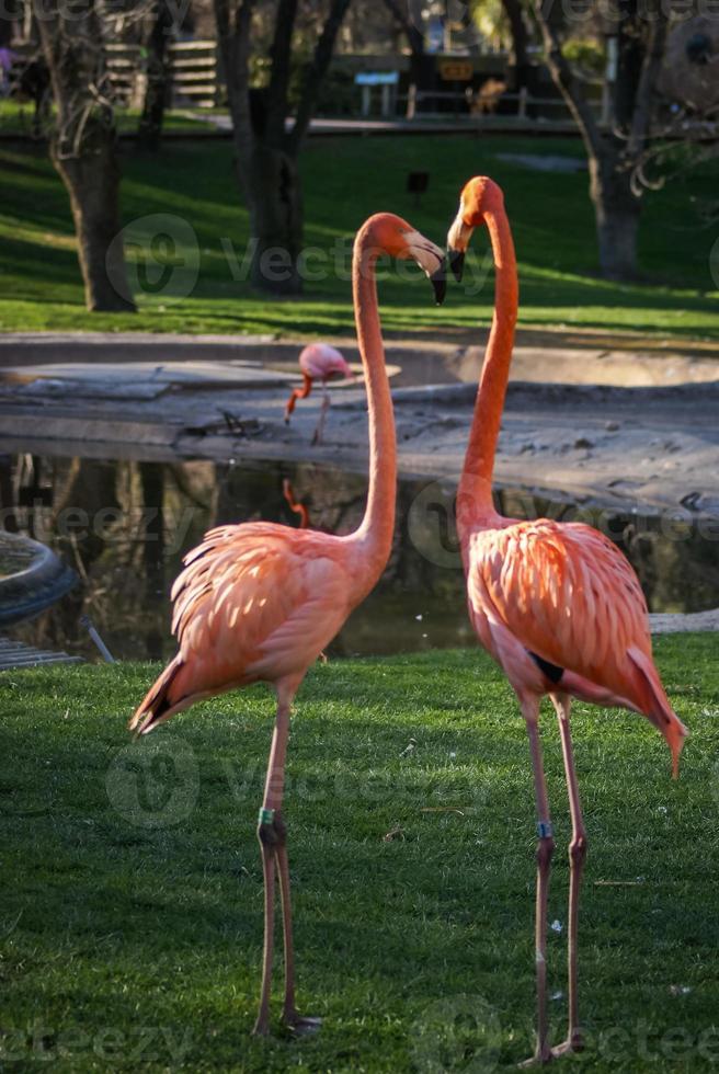 helder roze flamingo op de groene achtergrond foto