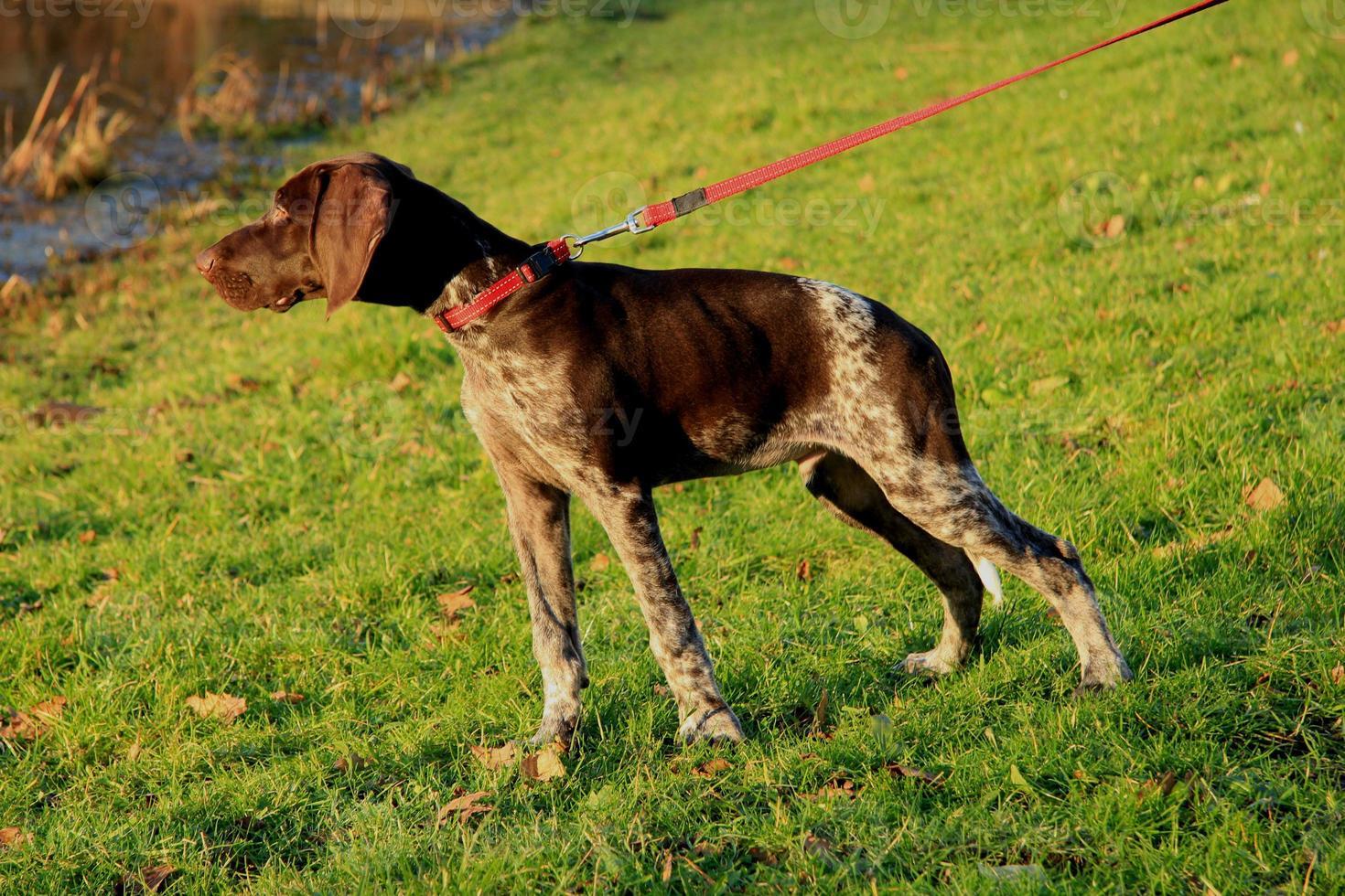 Duitse kortharige aanwijzer puppy foto