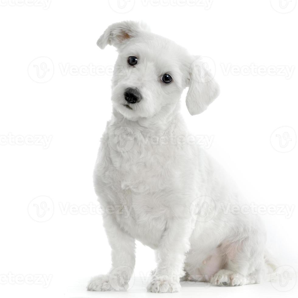 Maltese hond foto