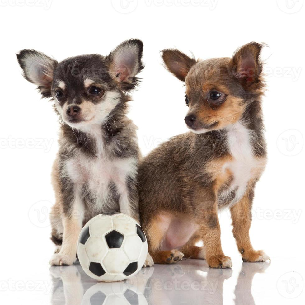 twee chihuahuapuppy's. foto