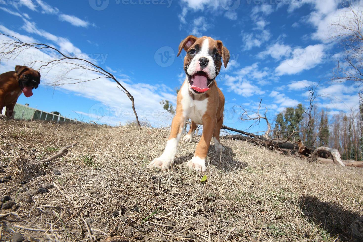 boxer puppy's foto