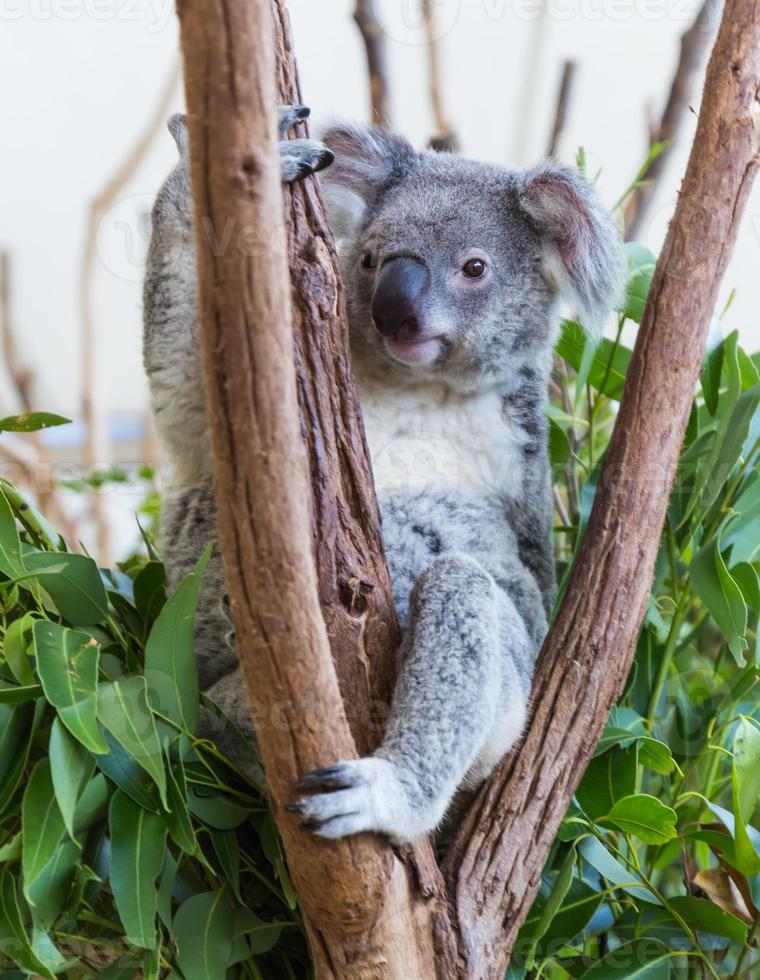 de koala op de boom foto