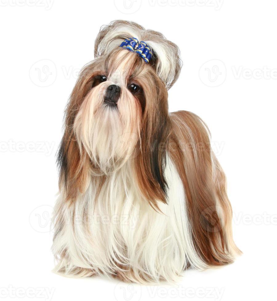 shih tzu hond foto