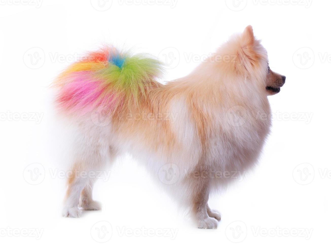 witte pomeranian hond die kleurrijke staart verzorgt foto