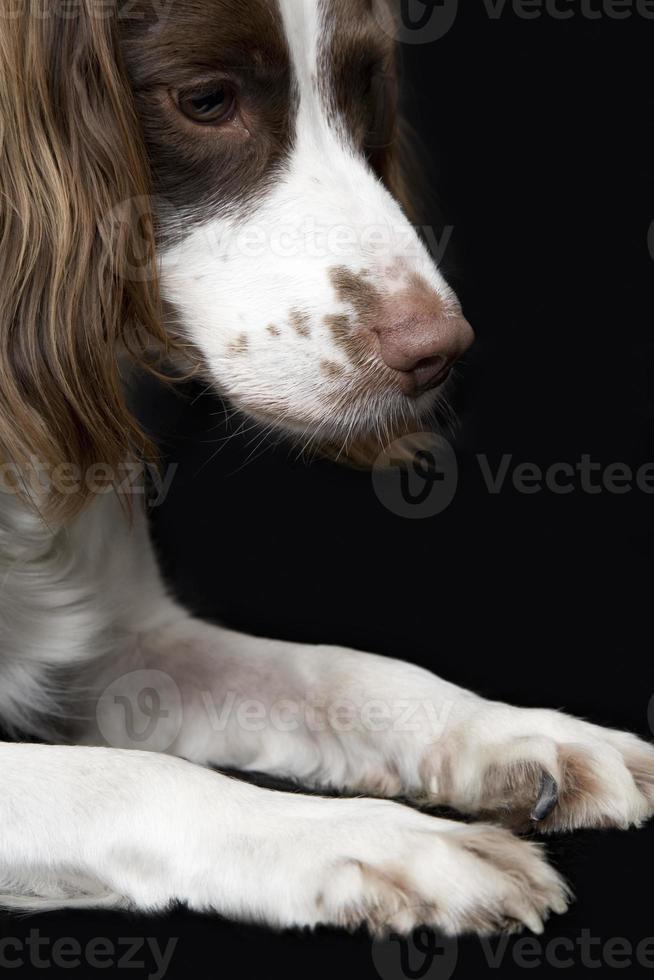 close-up van Engelse springerspaniël foto