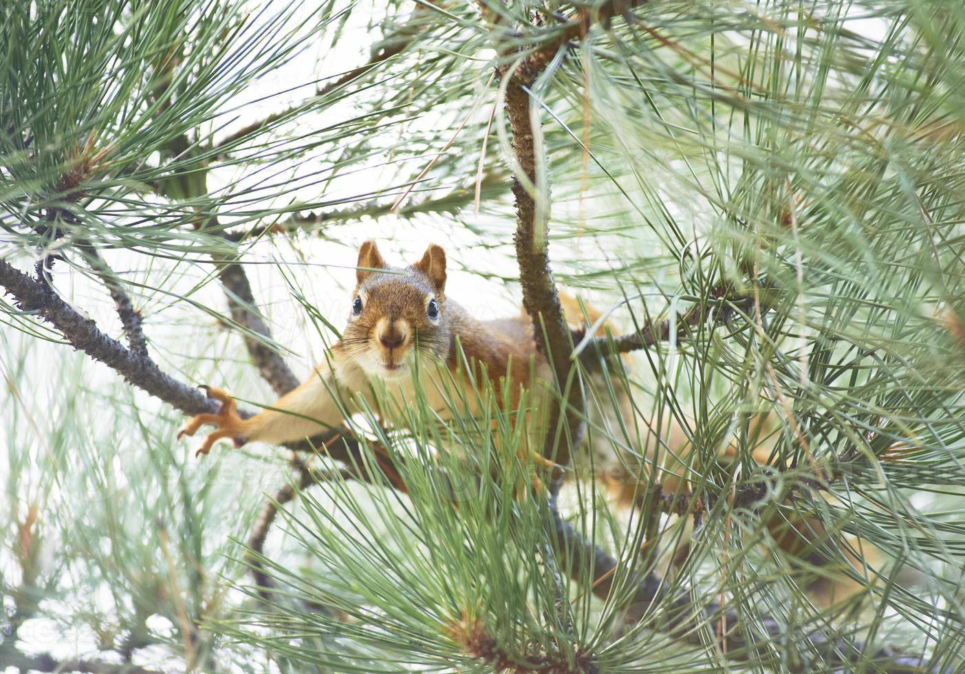 rode eekhoorn klaar om te springen foto