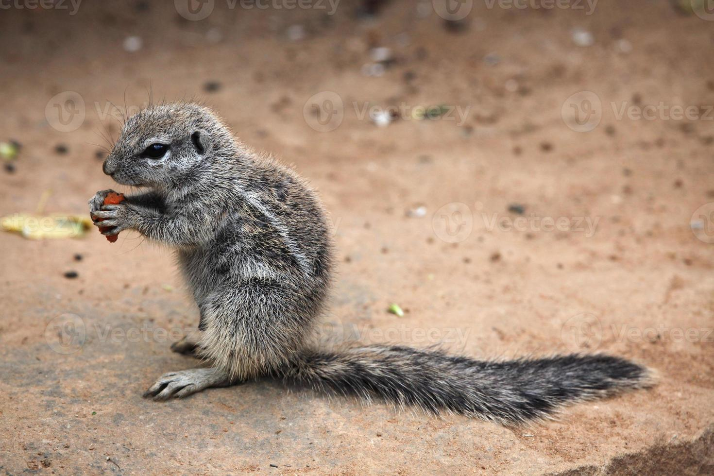 cape grondeekhoorn (xerus inauris). foto