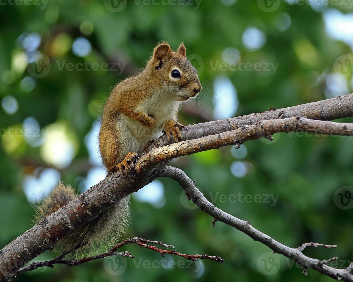 rode eekhoorn horizontaal formaat foto