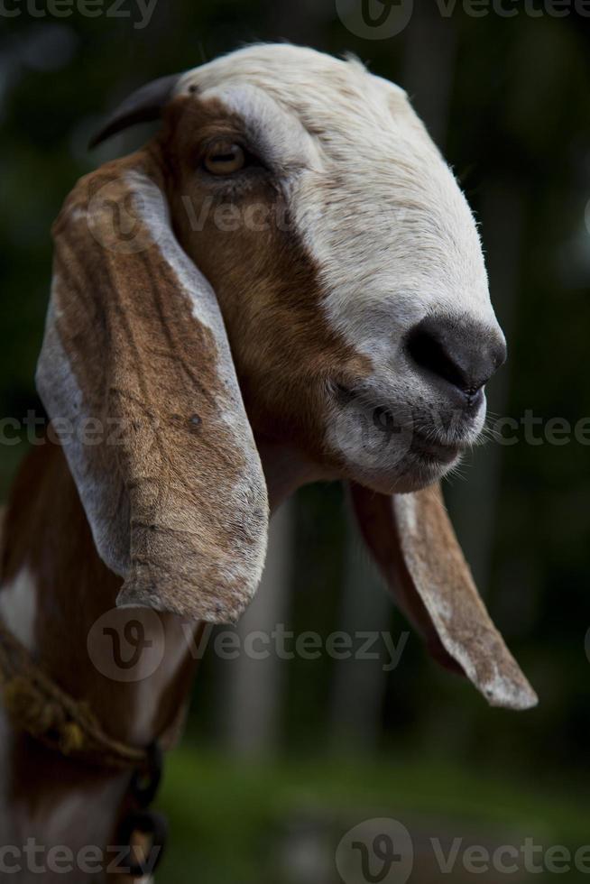 het oog van een geit foto