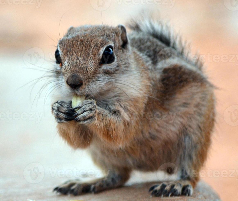 aardeekhoorn die zaad eet foto