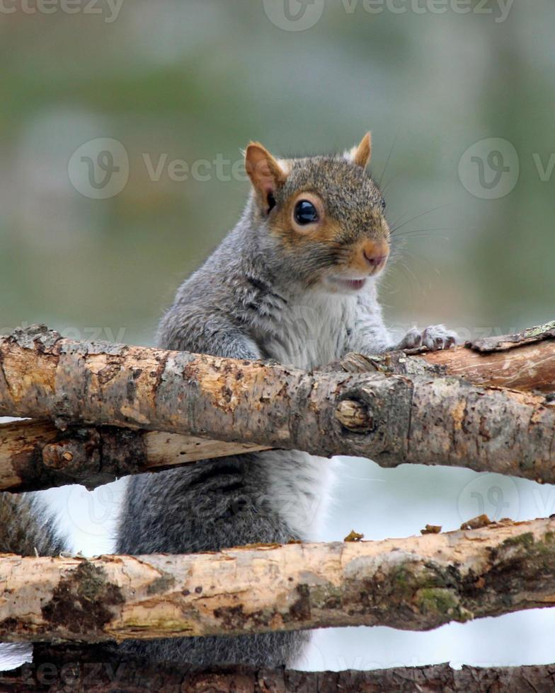 grijze eekhoorn die over takken kijkt foto