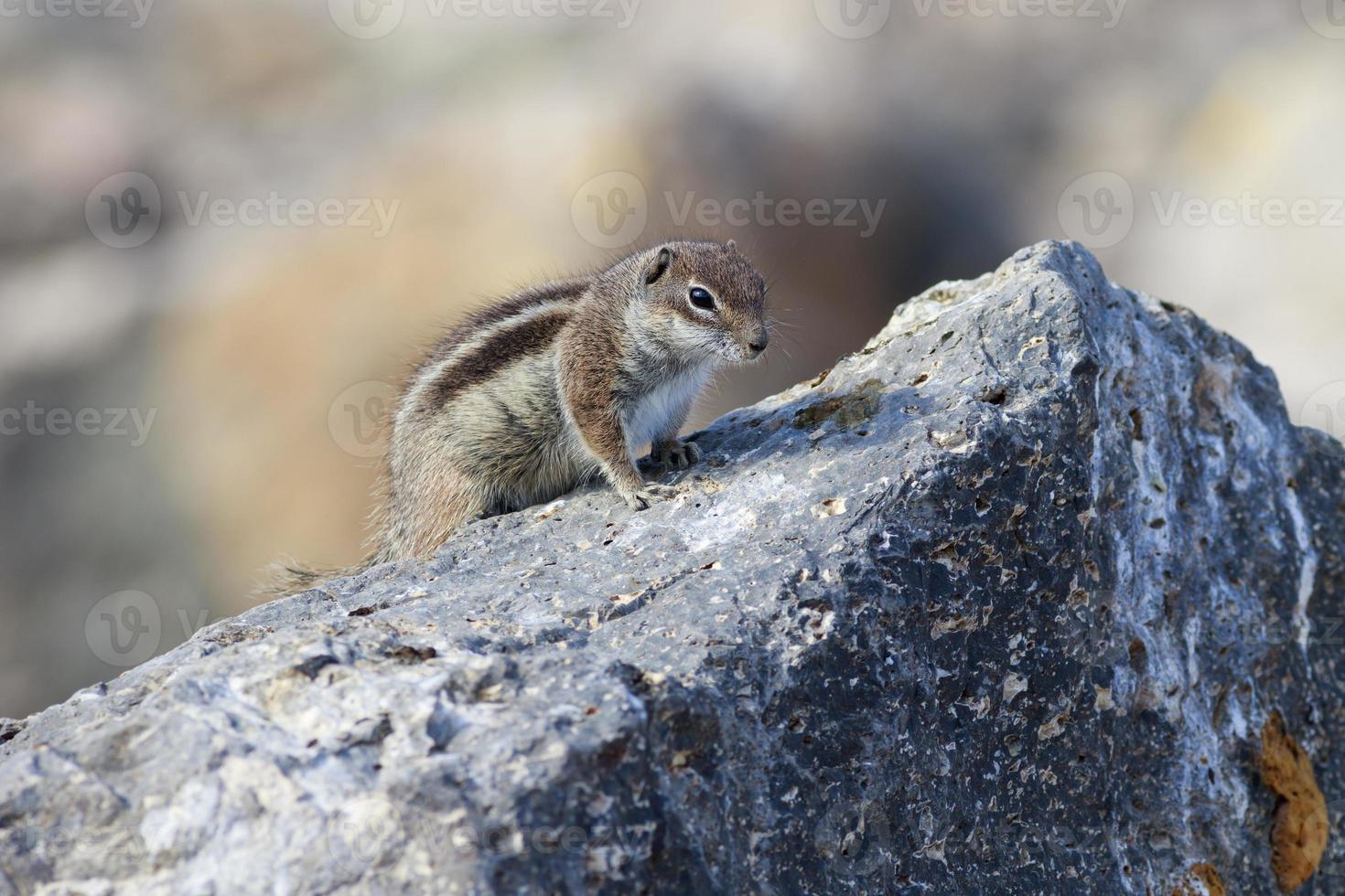 barbarije grondeekhoorn (atlantoxerus getulus) foto