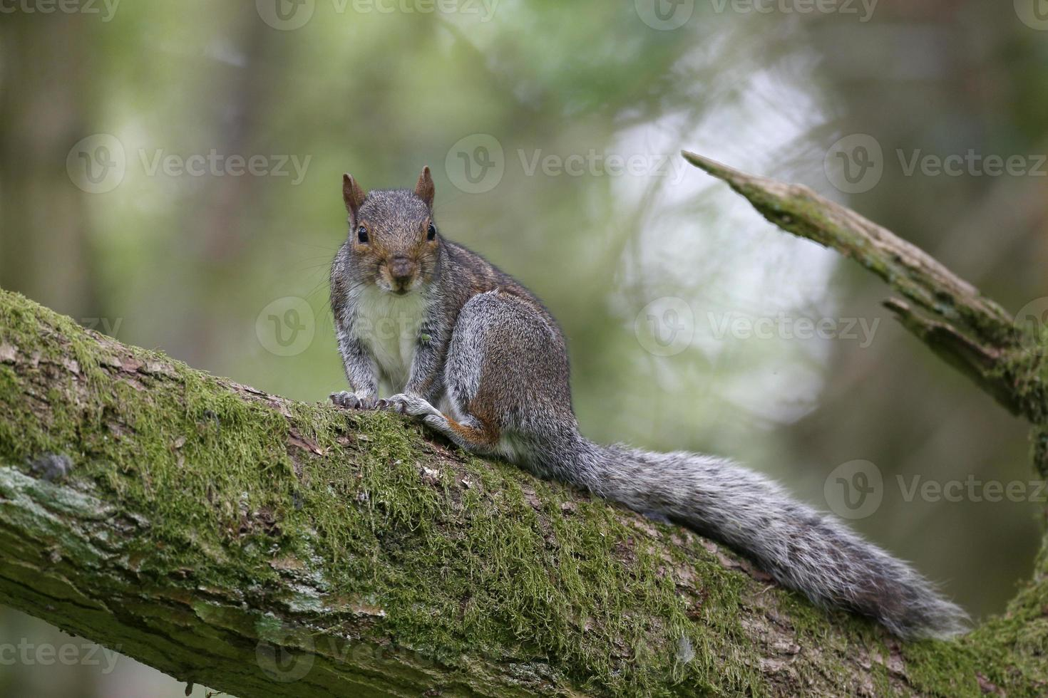 grijze eekhoorn, sciurus carolinensis foto