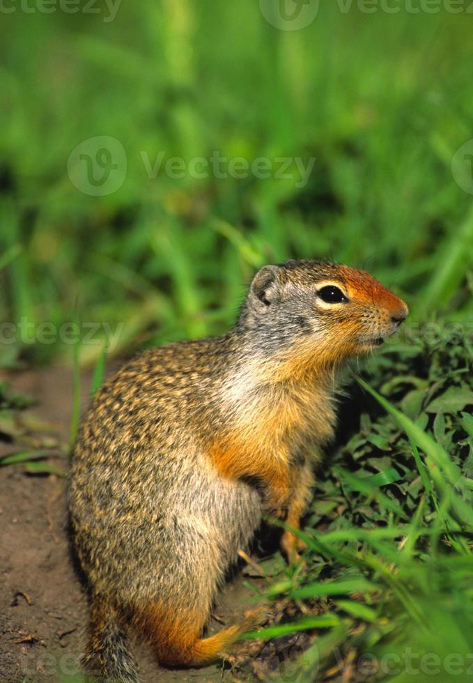 columbiaanse grondeekhoorn foto