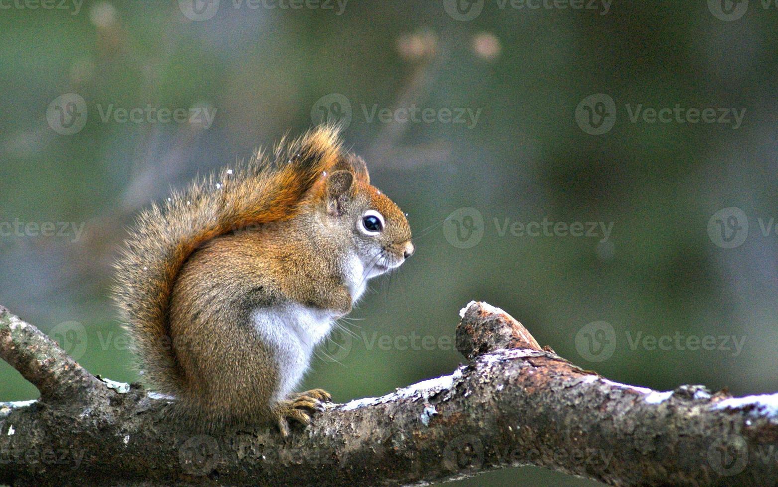 Amerikaanse rode eekhoorn met sneeuw in zijn staart foto