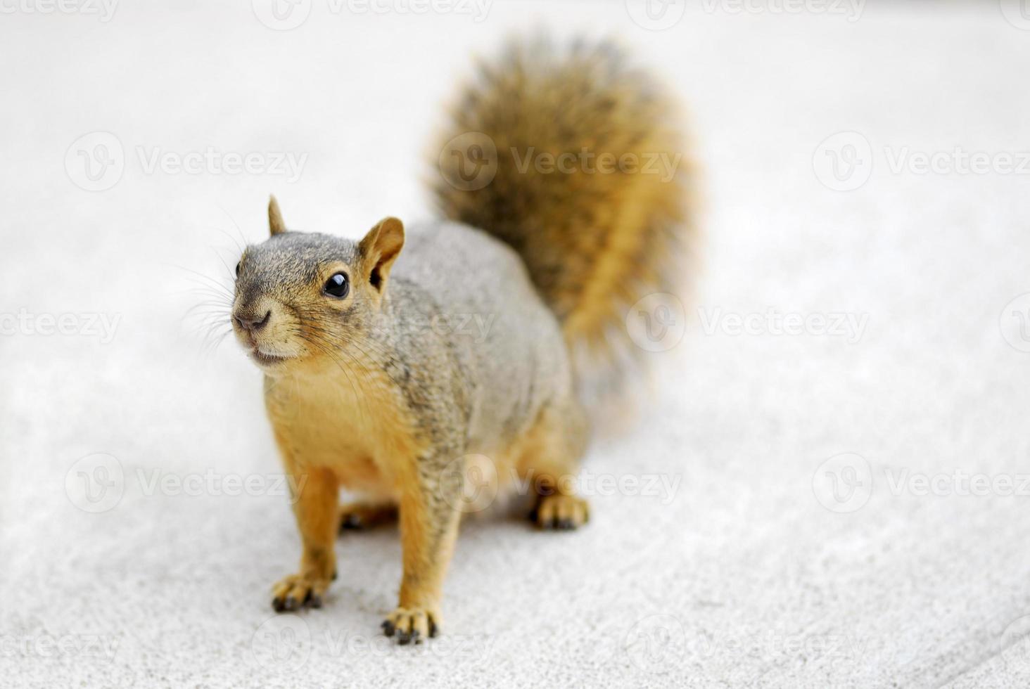 eekhoorn foto