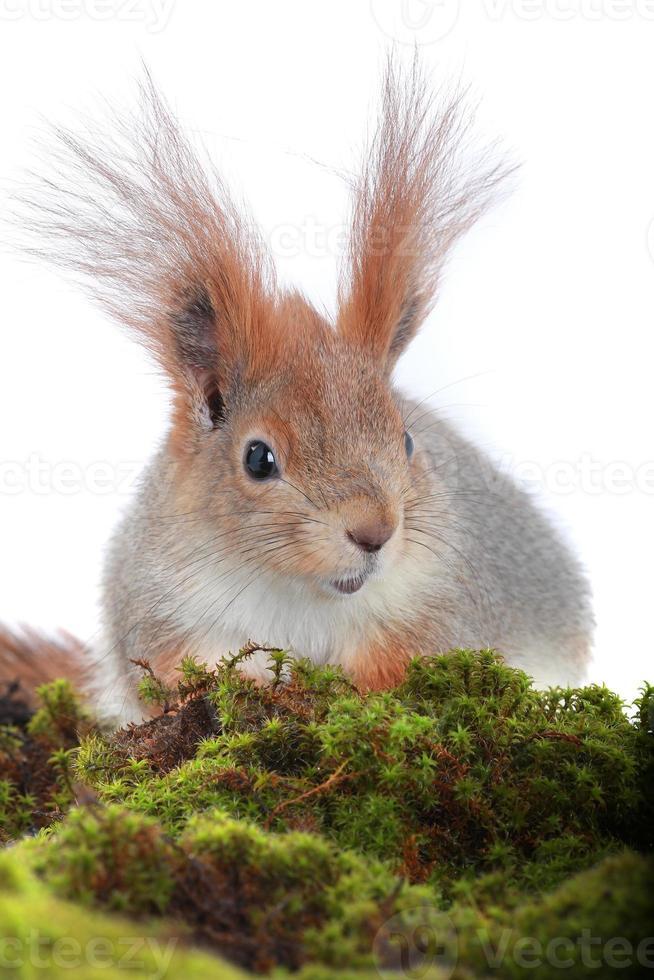 eekhoorn, foto