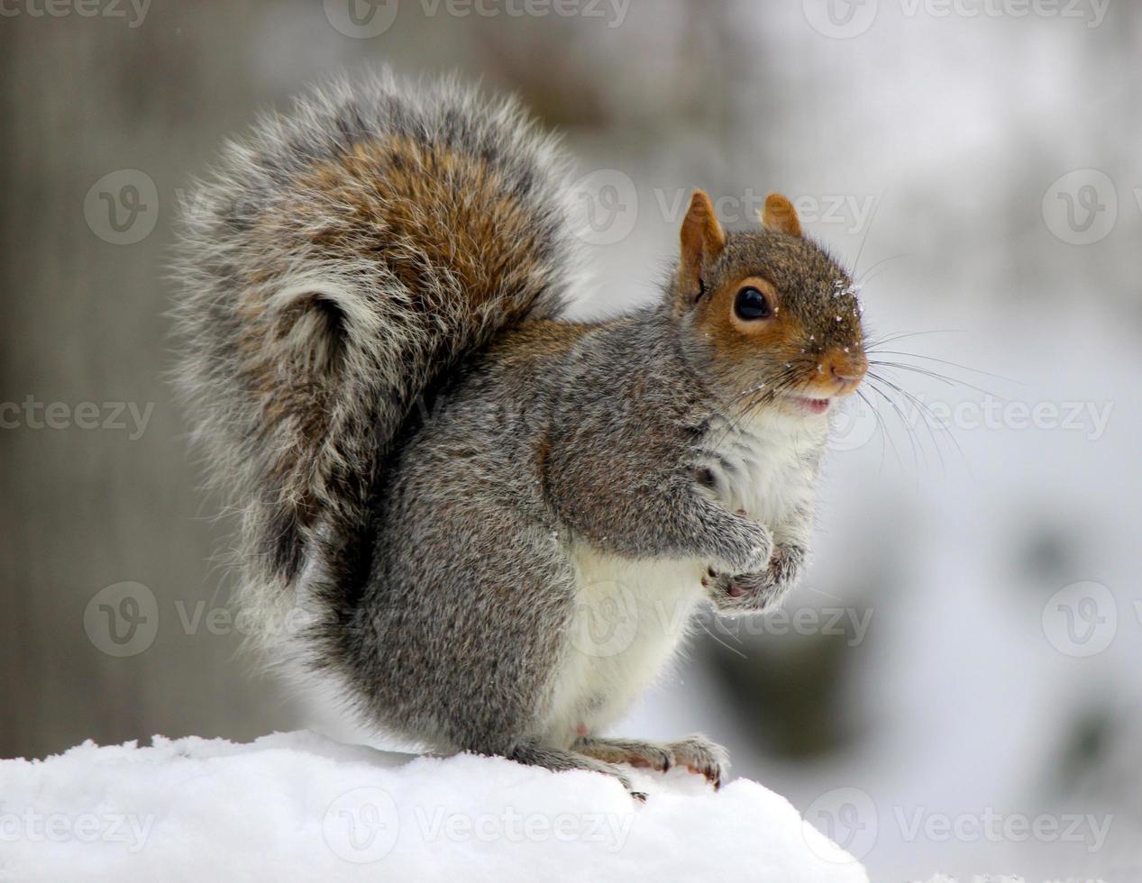 grijze eekhoorn in de sneeuw foto