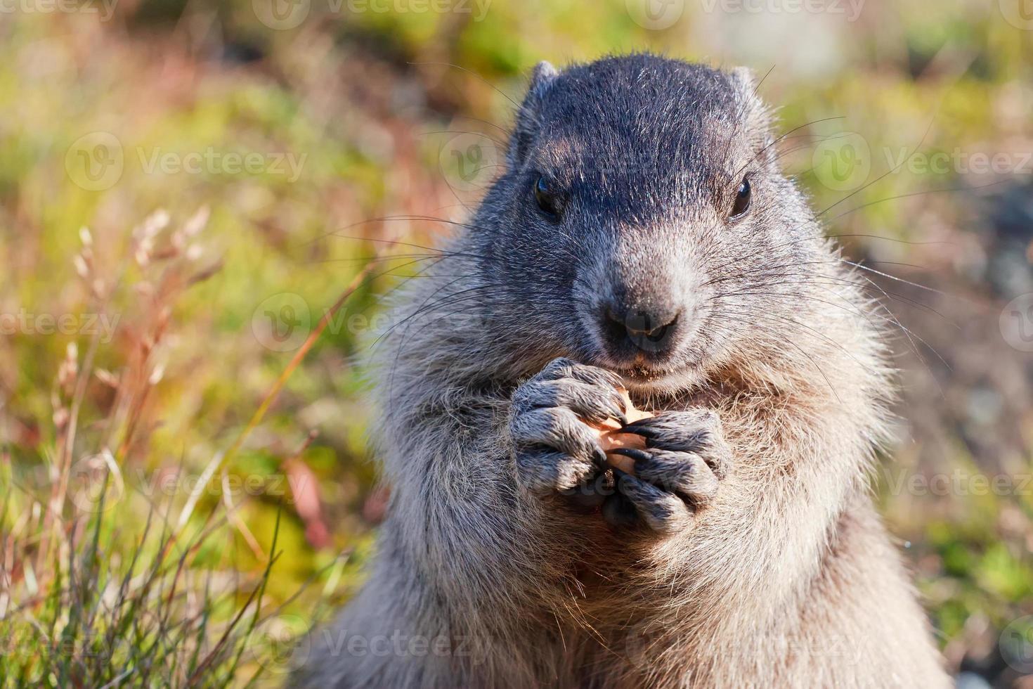 alpenmarmot (marmota) foto