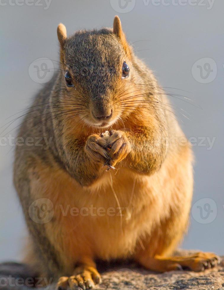 eekhoorn portret foto