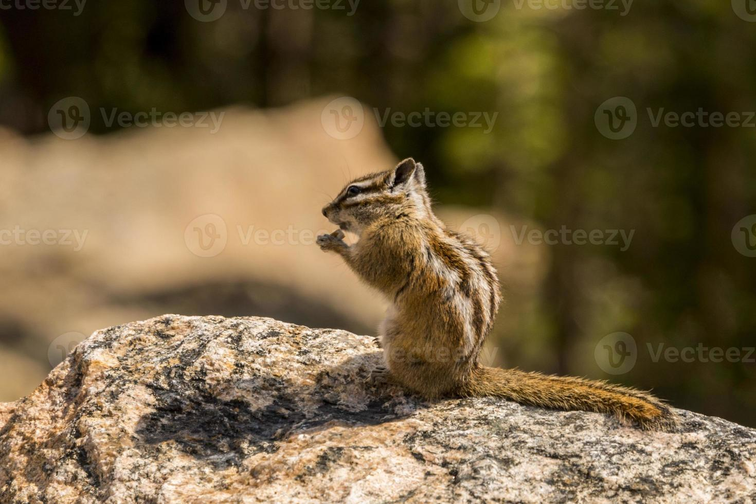 rotsachtige bergaardeekhoorn foto