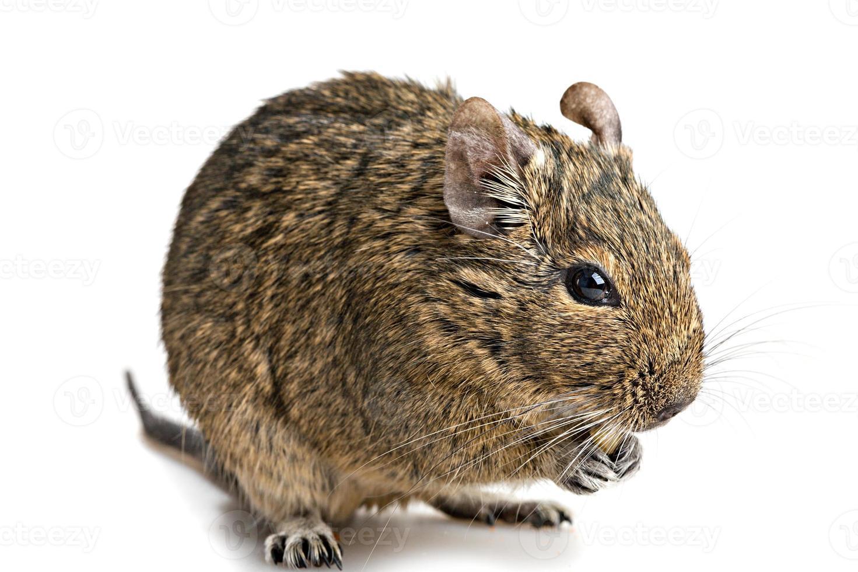 degu muis close-up op wit wordt geïsoleerd foto
